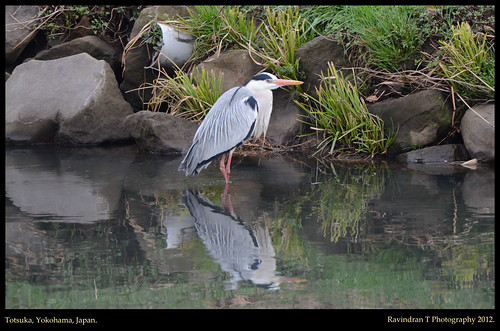 Grey Heron | by Ravindran's Photography