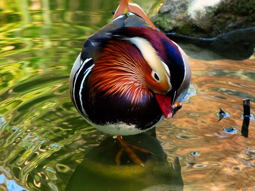 Mandarine duck | by Marite2007