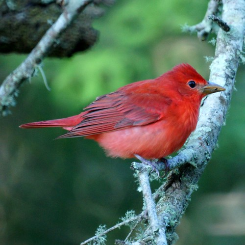 Summer Tanager | by Mike's Birds
