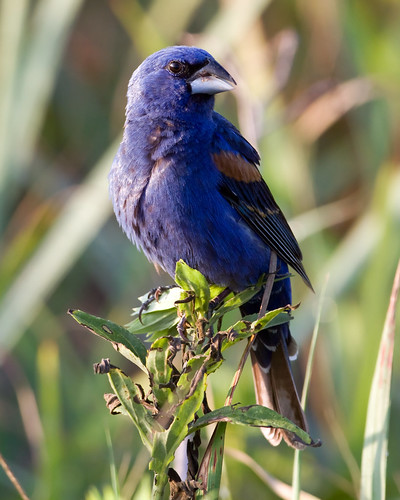 Blue Grosbeak by Steve Gifford | by Steve Gifford - IN