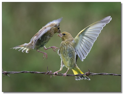 Fighting Greenfinches | by The-Hawk