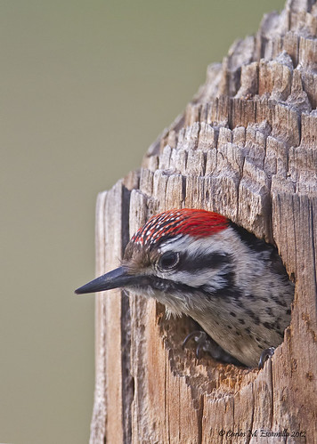 Ladder Backed Woodpecker  IMG_2635edttpz | by cmescamilla