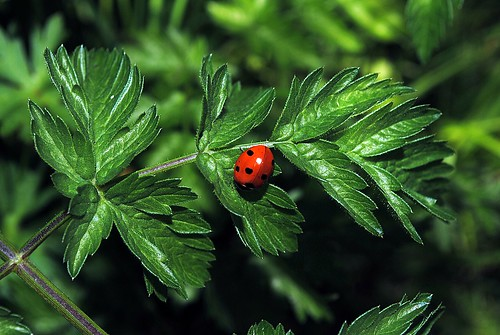 Ladybird | by williami5