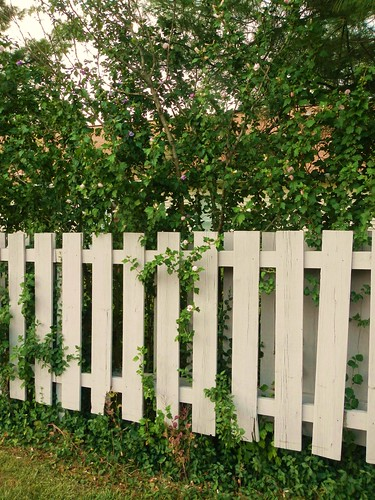 White fence with tiny Rose of Sharon | by bonegirl