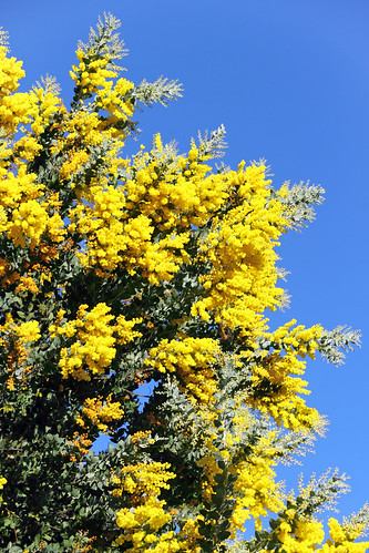 Silver Wattle Treetop at its peak | by sparkleshots (trying to catch up)