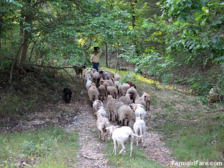 (18-9) Luring the sheep away from Donkeyland and back towards the barn - FarmgirlFare.com | by Farmgirl Susan