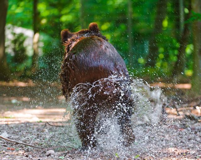 Bear running away