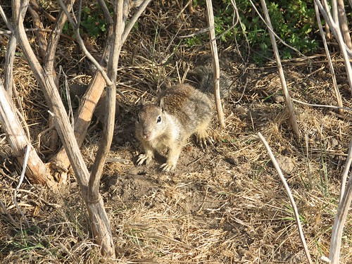 how to get rid of chipmunks and ground squirrels