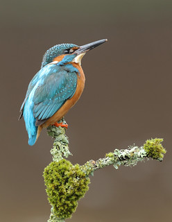 Male Kingfisher | by naturenev