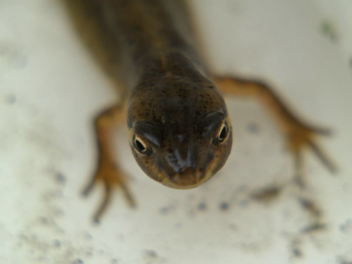 Cool Newt | by Steve Drews
