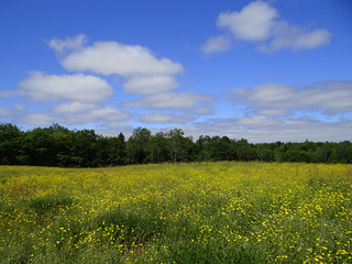 Blue Skies and Buttercups | by Krittergirl