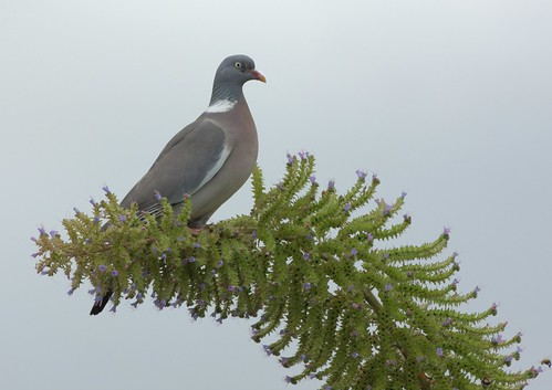 Wood-Pigeon | by Bill Schofield