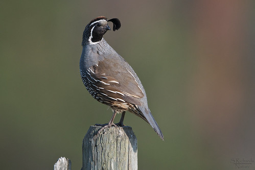 California quail, male | by Through The Big Lens