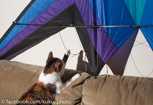 Cookie inspects the Stunt Kite I assembled #Hawaii #Photography #Cat #Kite | by Kukui Photography