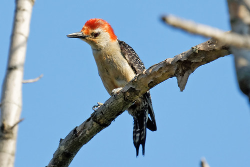 Red Bellied Woodpecker 5 | by baldheretic