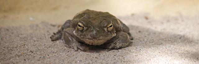 Cane toad / Aga-Kröte