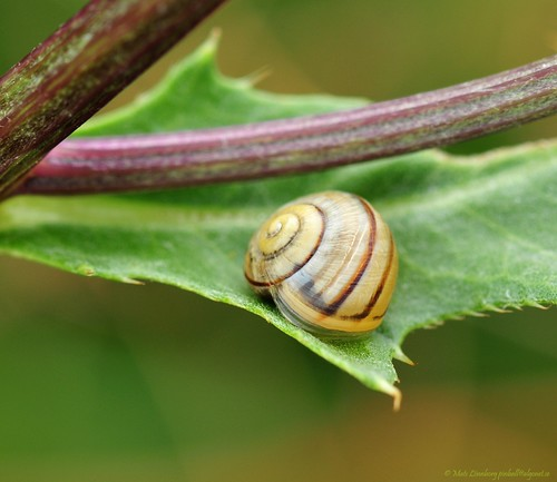 Little snail | by nikkorglass