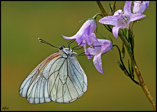 Aporia crataegi | by alfvet