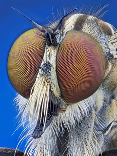 The Robberfly | by Johan J.Ingles-Le Nobel