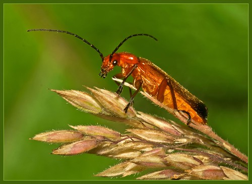 Soldier Beetle  (Rhagonycha fulva) | by anthonynixon17
