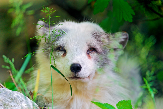 Relaxed polar fox