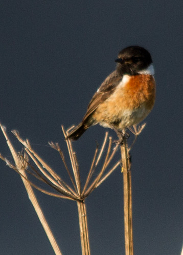 Male Stonechat | by Richard Palmer responding to chemotherapy.