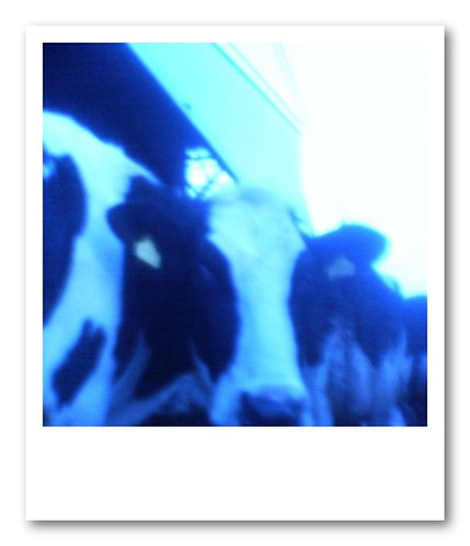 cows in blue | by t_akisato