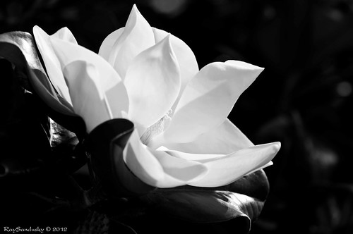 A Stage Toward Renewal - Magnolia #25 | by raisinsawdust - (aka: tennphoto)