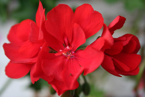 Red Geranium Close Up by Lindsey renton | LINDSEY RENTON ...