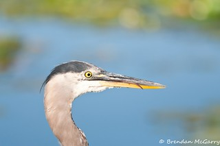Great Blue Heron Mealtime 8 (Don't Stick Your Tongue Out at Me) | by BrendanMcGarry