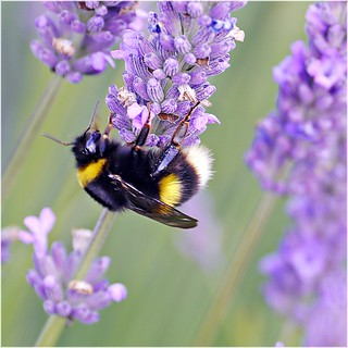 Lavender and Bumblebee | by tanglemay