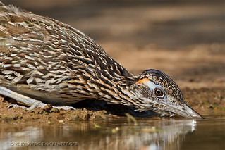 Greater Roadrunner | by Joerg Rockenberger