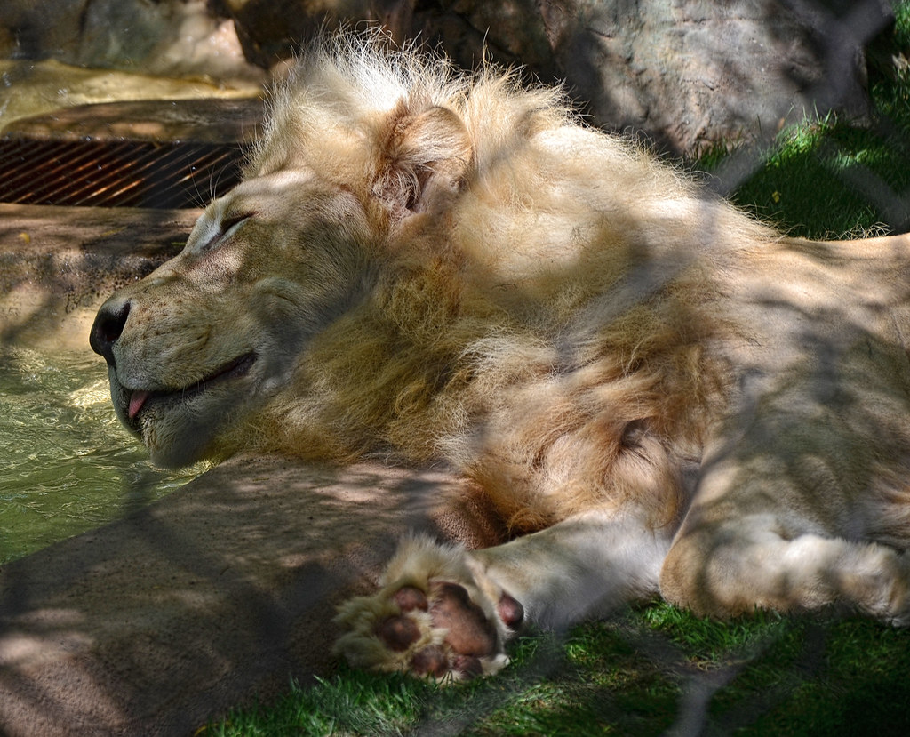 White Lions of Timbavati -The Mirage - Siegfried & Roy\'s S… | Flickr