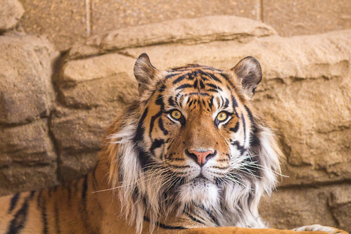 Jae Jae the male Tiger at ZSL London. Sumatran tiger (Panthera tigris sumatrae) | by ctrlaltdileep