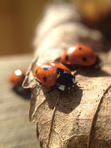 Meeting of LadyBirds | by g4shallow