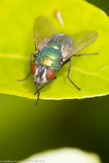 Greenbottle (unedited) | by Tubs McHam