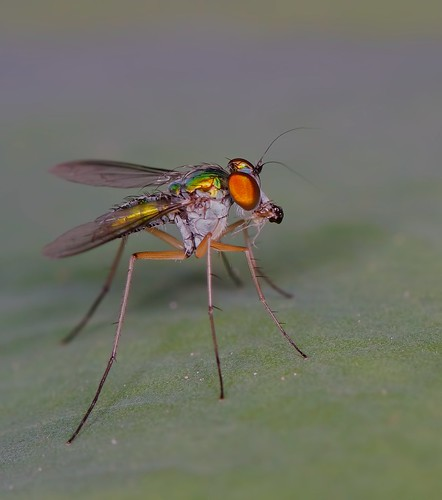 IMG_4804 long legged fly | by Troup1