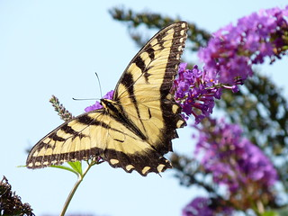 Eastern Tiger Swallowtail | by Dendroica cerulea