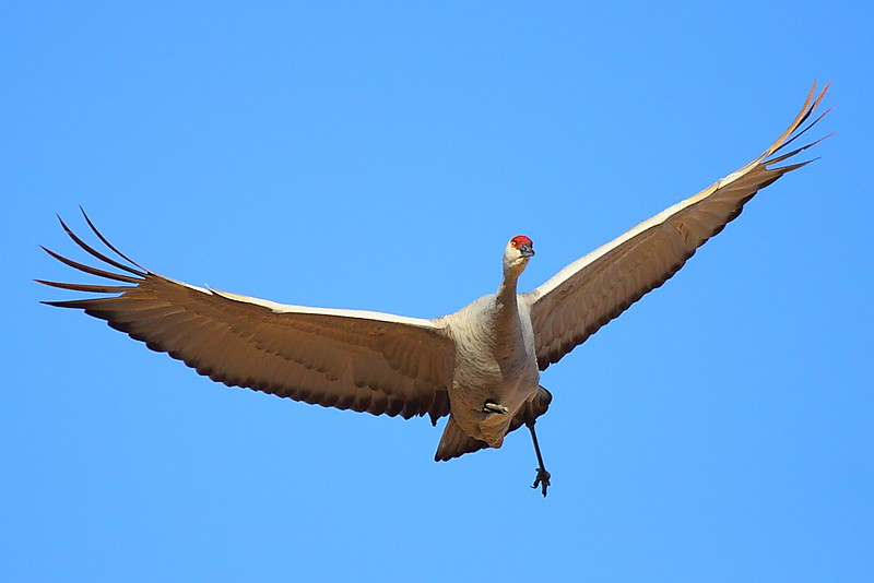 IMG_7710 Sandhill Crane