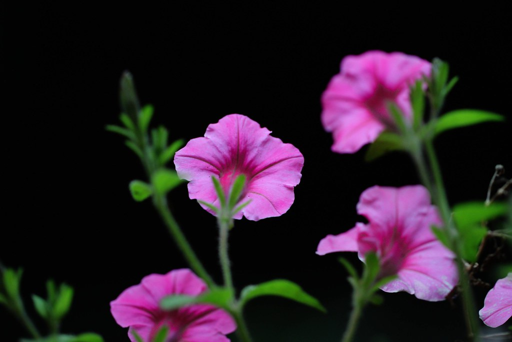 Pink flowers on black background stormahawk flickr pink flowers on black background by stormahawk mightylinksfo