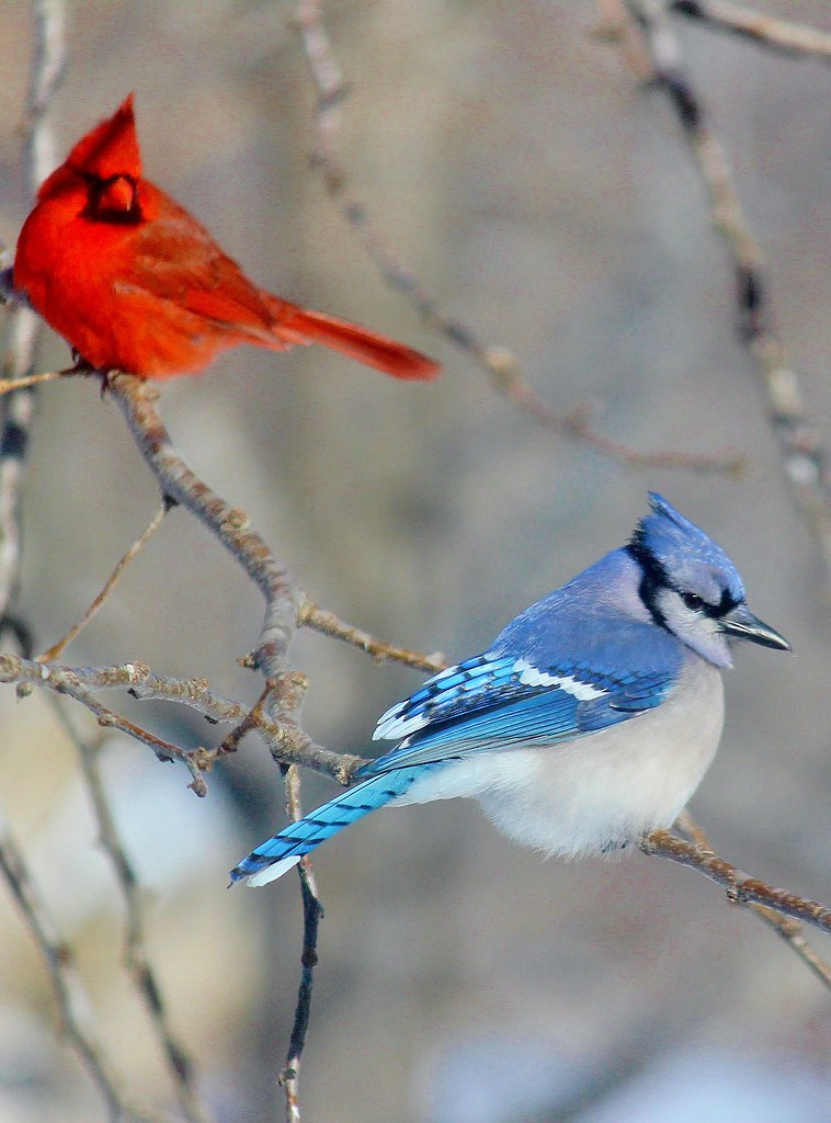 Bluejay And Cardinal Taken In Our Back Yard Taken In Cape Flickr