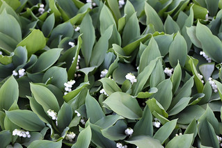 lily of the valley | by reading my tea leaves