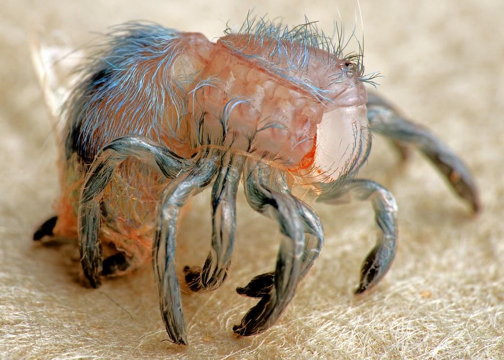 Image Gallery Avicularia Versicolor