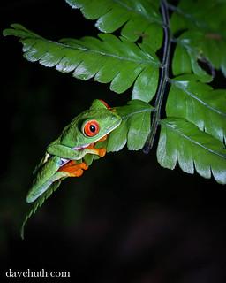 Eyed Treefrog Agalychnis Callidryas La Selva Biologi Flickr