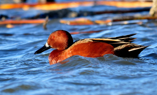 Cinnamon Teal Seedskadee NWR