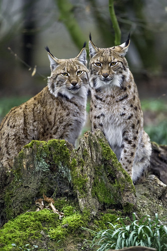 Lynx Couple Posing The Male And Female Lynx Posing