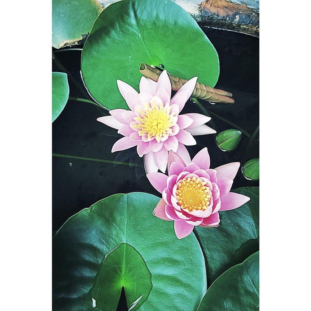 Happy fine day water lily fleur flora floral flickr happy fine day water lily fleur flora floral izmirmasajfo