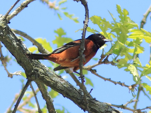 Orchard Oriole 2-20130514 | by Kenneth Cole Schneider