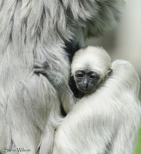 Baby Pileated Gibbon | by Steve Wilson - over 9 million views Thanks !!