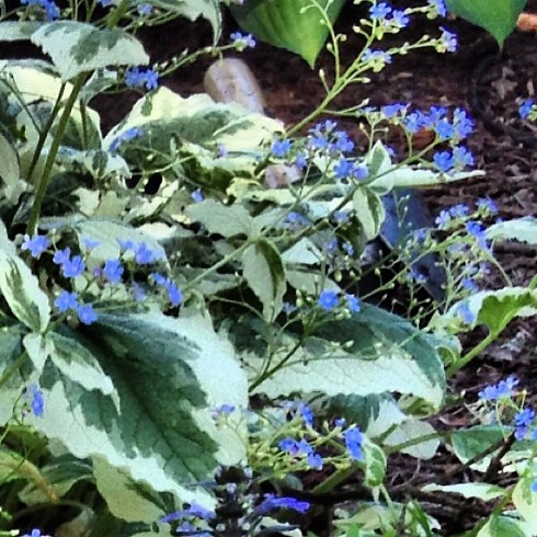 Brunnera False Forget Me Not A Standout In My Shade Gard Flickr